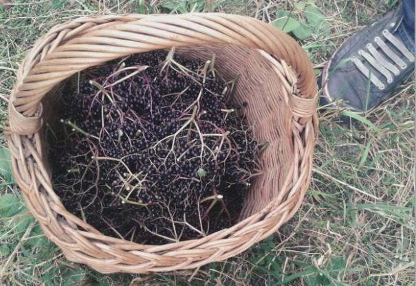Na grzyby jeszcze za sucho - zbieramy czarny bez.