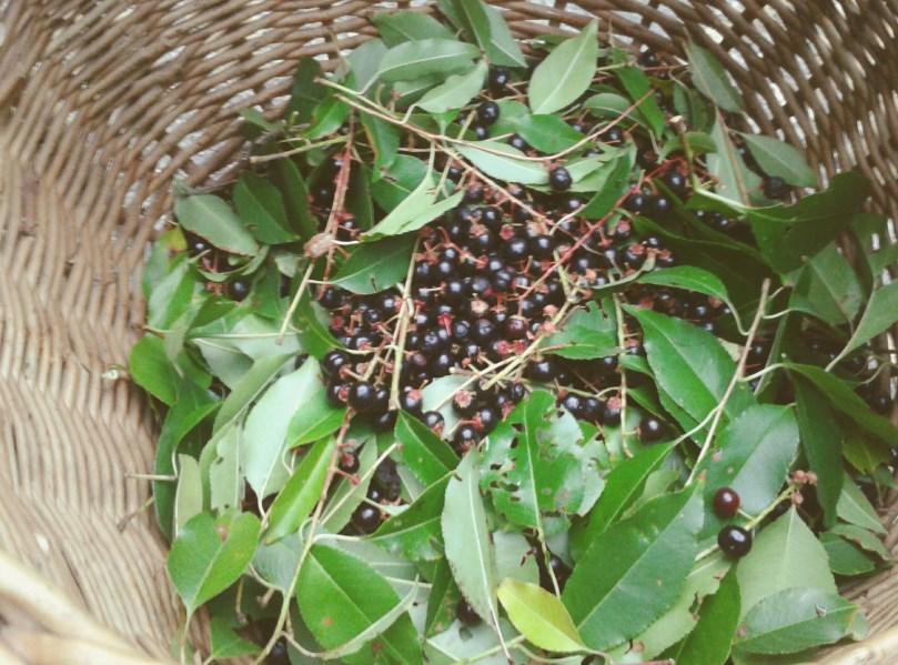 Dary lasu - czeremcha.