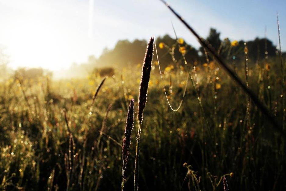 trawy kłos