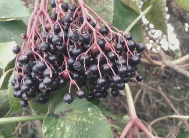 Czarny bez (Sambucus nigra L.)
