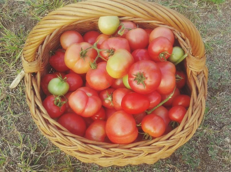 Pomidory wskakują zaraz do słoiczków.